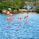 Flamingos Salinas de Jan Thiel